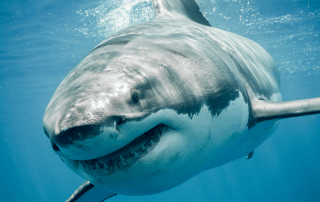 Great white shark close up smiling and swimming